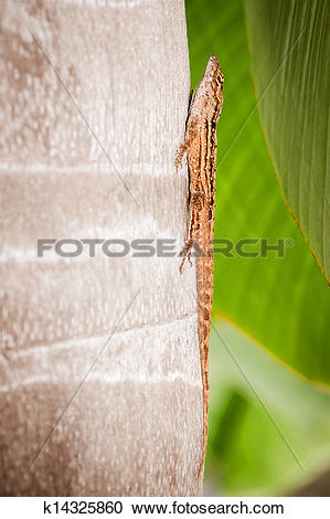 Stock Photography of Eastern fence lizard k14325860.