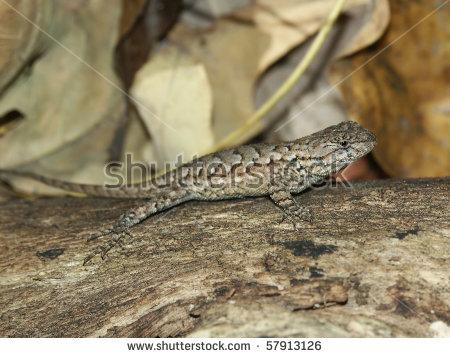 Fence Lizard (Sceloporus Undulatus).