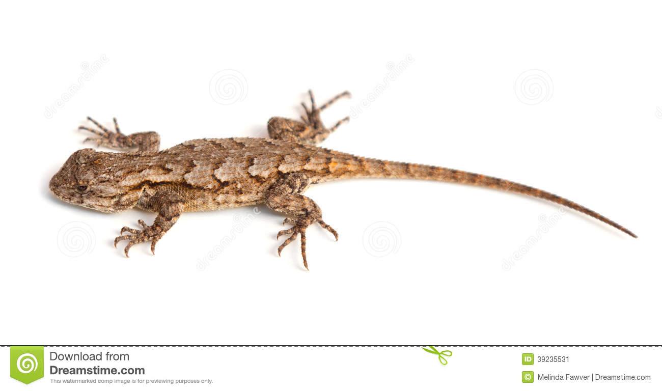 Lizard Stock Photo.