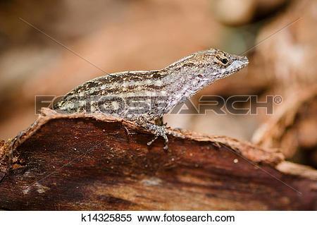 Stock Image of Eastern fence lizard k14325855.