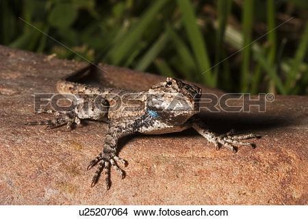 Stock Photo of family eastern fence lizard sceloporus undulatus.