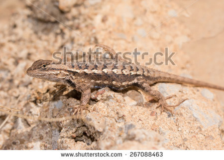 "blue Bellied Lizard"" Stock Photos, Royalty."