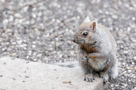 187 Gray Squirrel Stock Vector Illustration And Royalty Free Gray.