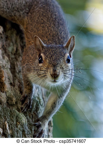Stock Photography of Eastern Gray Squirrel at Eye Level Staring.