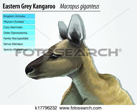 Clipart of Eastern grey kangaroo k17796232.