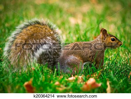 Stock Photo of Eastern Gray Squirrel Profile k20364214.