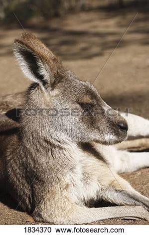 Stock Photography of Eastern Grey Kangaroo 1834370.