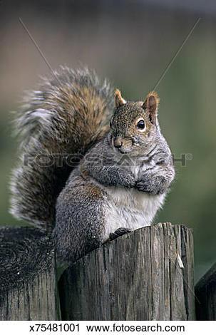 Stock Photography of Eastern Gray Squirrel, Sciurus carolinensis.