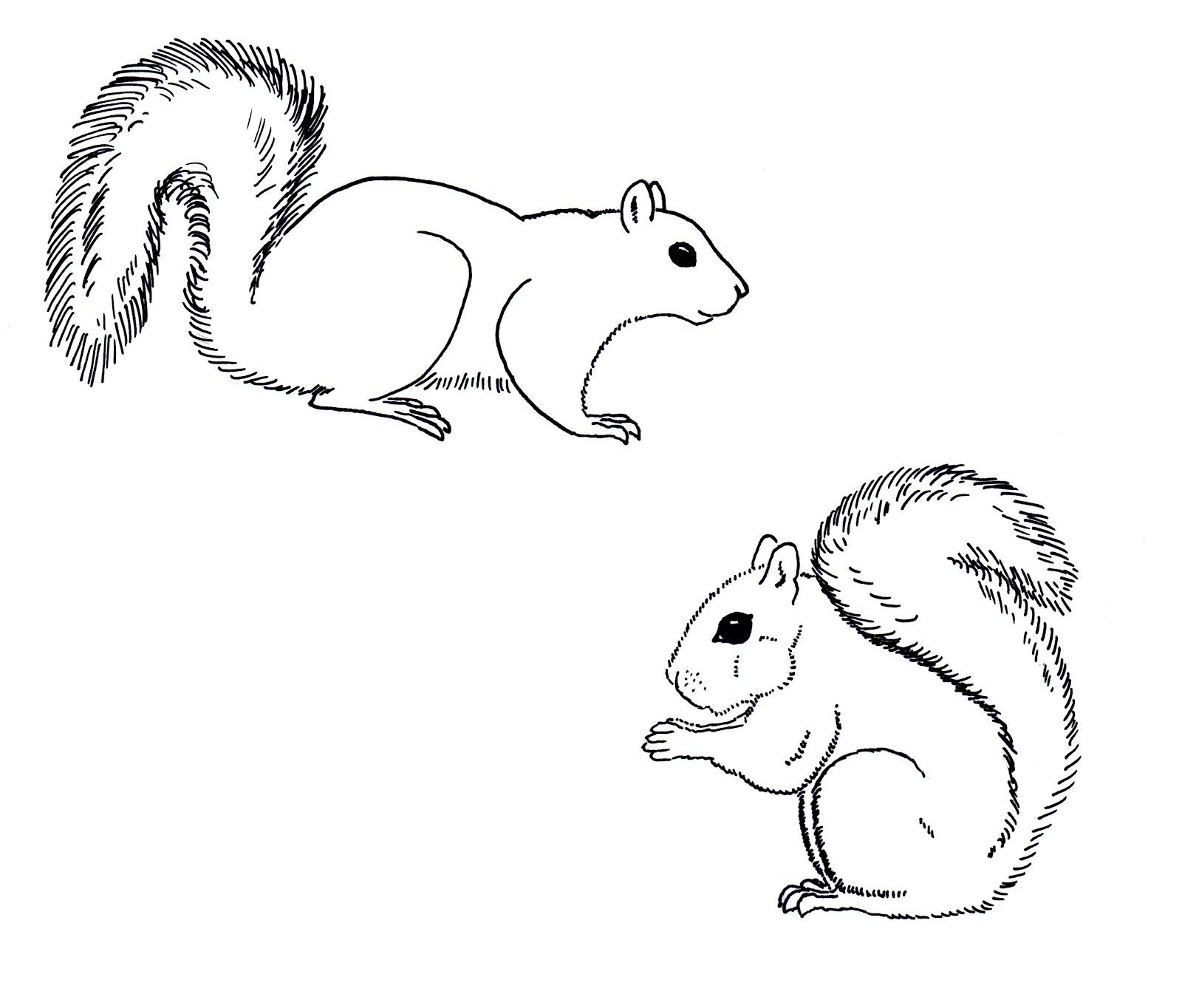 Eastern grey squirrel drawing.