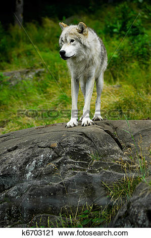 Stock Photography of Eastern Gray Timber Wolf Standing on Rock.