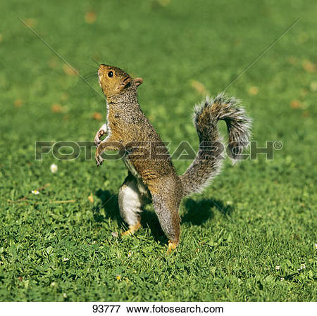 Picture of Eastern Gray Squirrel.