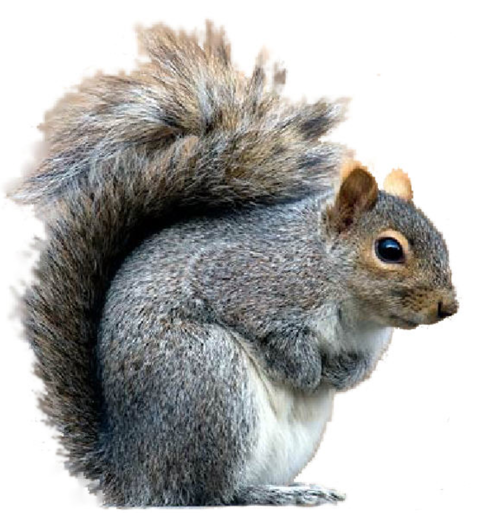 Squirrels — Kapow Pest, Control in the West.