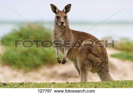 Picture of Eastern grey kangaroo.