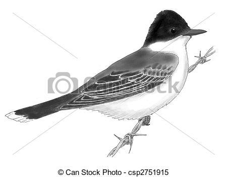 Stock Illustrations of Eastern Kingbird Tyrannus tyrannus.