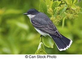 Picture of Eastern Kingbird (Tyrannus) on a perch with a colorful.