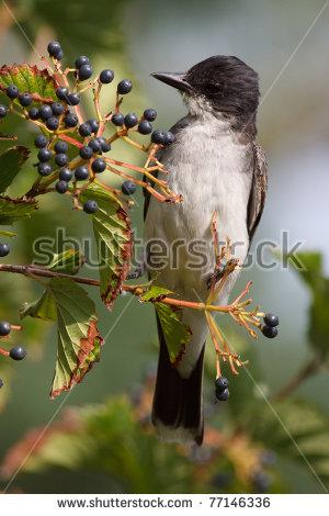 North American Birds Stock Photos, Royalty.