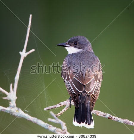 Eastern Kingbird Stock Photos, Royalty.
