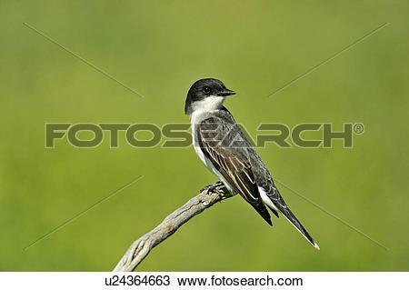 Stock Photo of Eastern Kingbird (Tyrannus tyrannus) Hunting near.