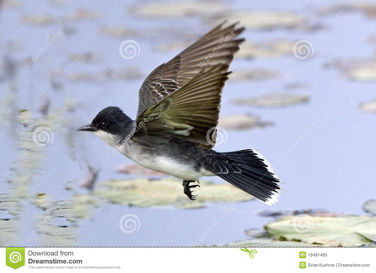 Eastern Kingbird In Flight Royalty Free Stock Photo.