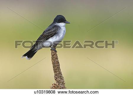 Pictures of Eastern kingbird (Tyrannus tyrannus) on perch in Moses.