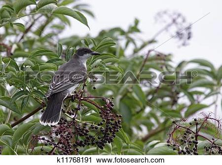 Stock Photography of Eastern Kingbird k11768191.