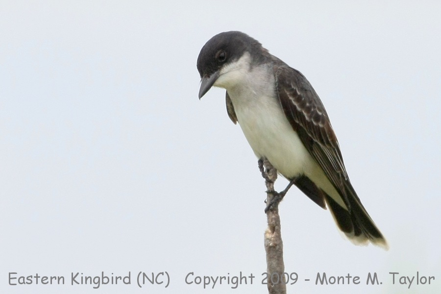 kingbird_eastern_spring_north.