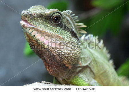 Asian water dragon Stock Photos, Images, & Pictures.