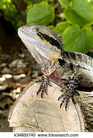 Stock Photography of Lizard Eastern Water Dragon k34855740.