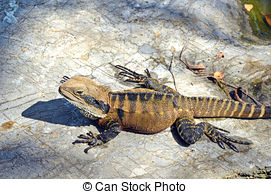Picture of Eastern Water Dragon csp18716072.