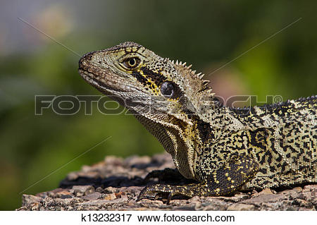 Picture of Eastern Water Dragon. Australia. Physignathus lesueurii.