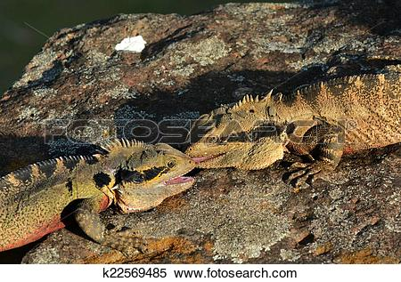 Stock Image of Australian Eastern Water Dragon k22569485.