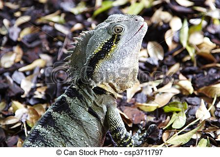 Picture of Eastern Water Dragon.
