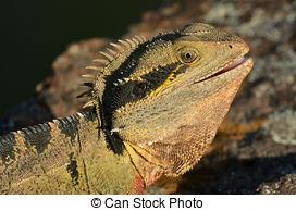 Stock Image of Australian Eastern Water Dragon warms on a rock in.