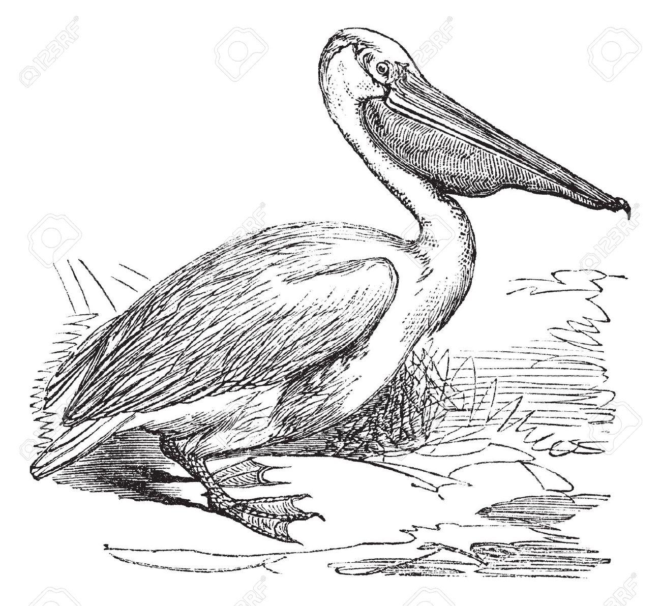 Great White Pelican Or Eastern White Pelican Or Pelecanus.