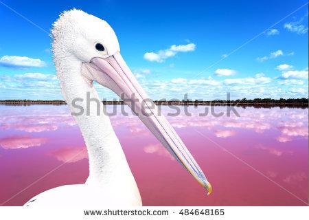 Eastern White Pelican Stock Photos, Royalty.