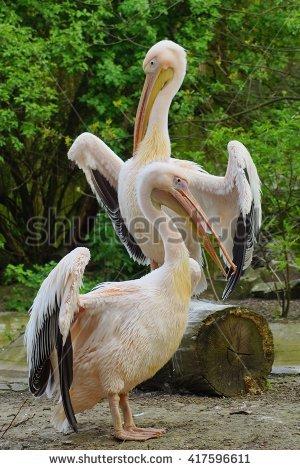 Eastern White Pelicans Stock Photos, Royalty.