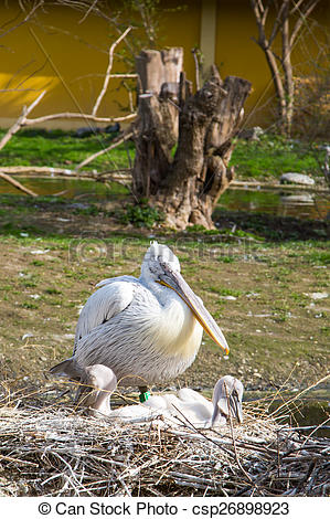 Stock Photo of Eastern white pelican with two babies in the nest.