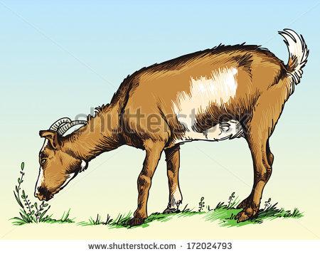 Goats Eat Grass Field Stock Vector 172024793.