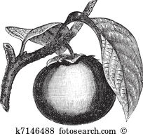 Ebenaceae Clipart Royalty Free. 8 ebenaceae clip art vector EPS.
