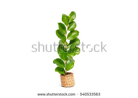 Ebenaceae Stock Photos, Royalty.