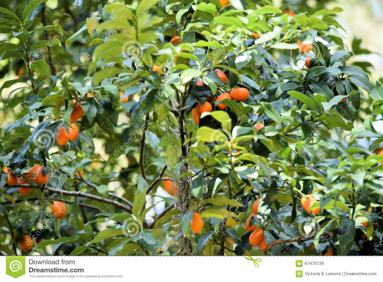 Growing Persimmon Tree With Fruit Stock Photo.