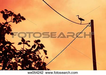Stock Photo of Wading bird on power lines in the evening. Ebro.