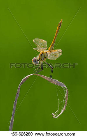 Stock Photography of Dragonflies. Ebro delta. Spain t69.