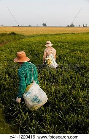 Stock Images of Rice fields, Ebro Delta, Tarragona Province.
