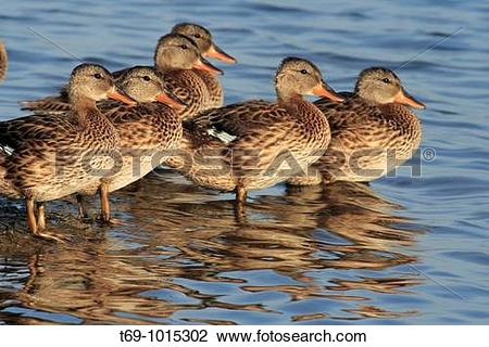 Stock Photo of Gadwall family (Anas strepera). Ebro delta.