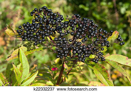 Picture of Sambucus ebulus k22332237.