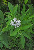 Stock Photograph of Danewort, Dwarf Elder, European Dwarf Elder.