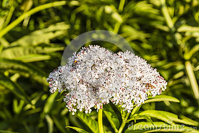 Danewort, Sambucus Ebulus Royalty Free Stock Photo.