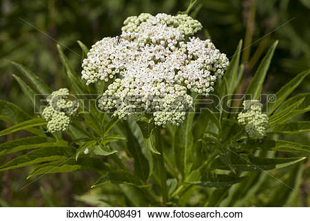 Stock Photography of Dwarf Elder (Sambucus ebulus) ibxdwh04008491.