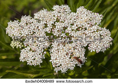 Stock Photograph of Dwarf Elder (Sambucus ebulus) ibxdwh04008489.